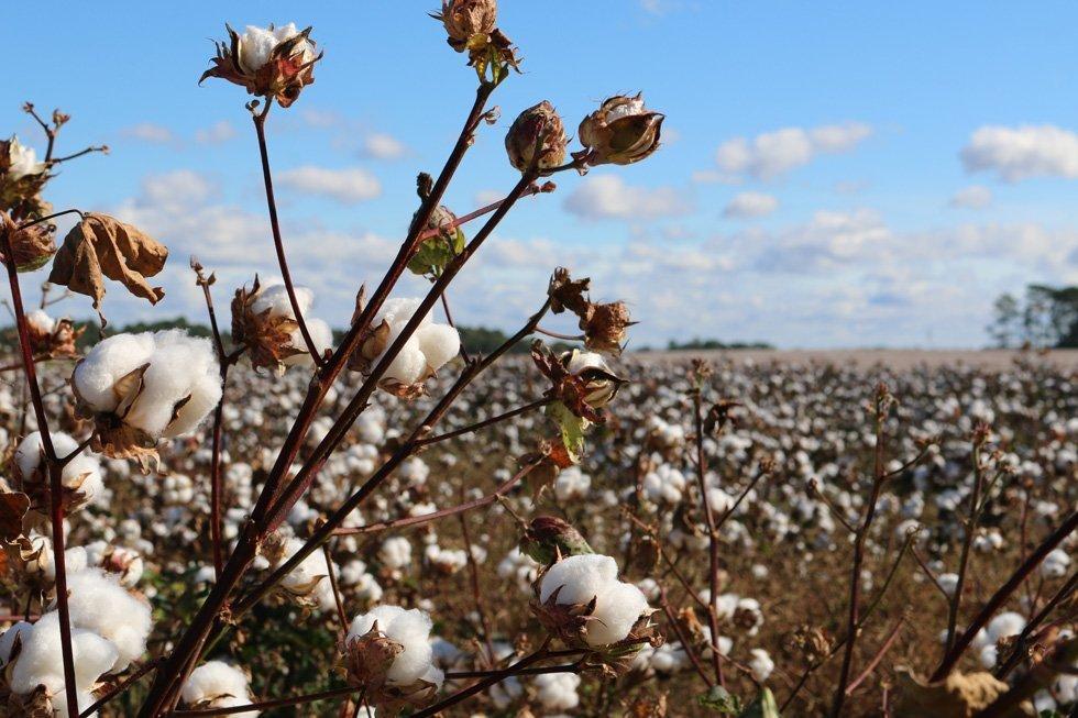 Natural Fibre Clothing - Organic Cotton Growing